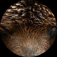 Bear-fur